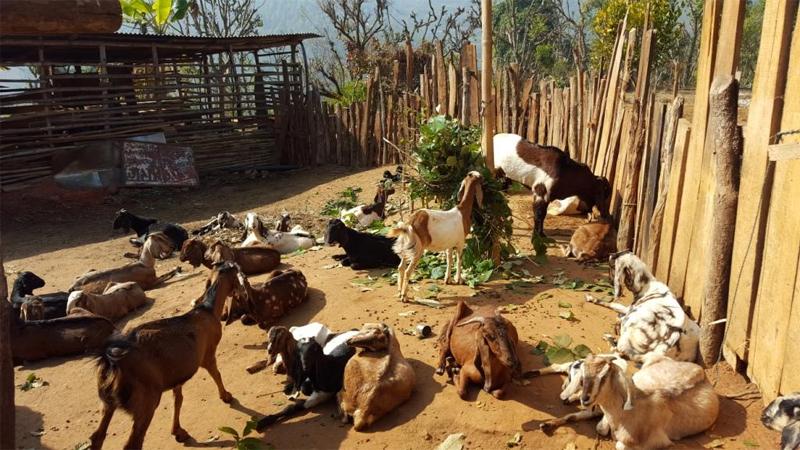 बाख्रापालनले उठायो ग्रामीण महिलालाई